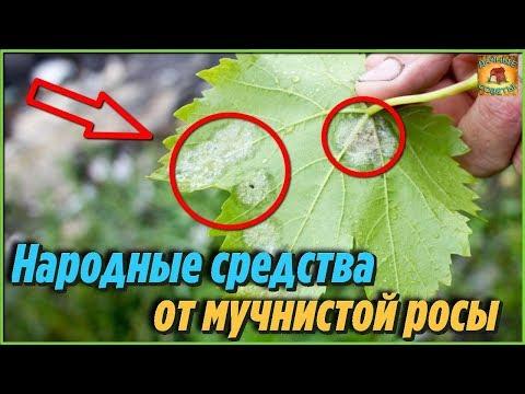Как избавиться от мучнистой росы на растениях. Самые лучшие народные средства