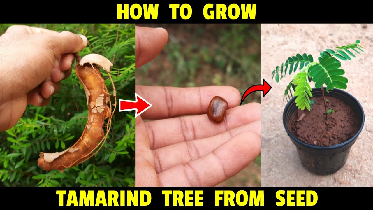 Download How To Grow Tamarind From Seed   How To Grow Imli Plant