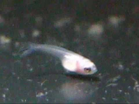 Betta spawn log growing betta fighting fish youtube for Why do betta fish fight