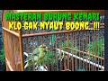 Suara Kenari Nembak Panjang Untuk Masteran Dan Pancingan Mantap Kicaumania Kenari  Mp3 - Mp4 Download