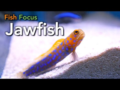 Fish Focus - Jawfish