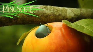 Minuscule - Love Apple / Pomme d