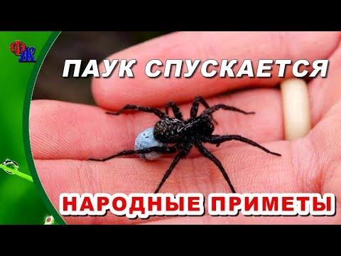 ПАУК СПУСКАЕТСЯ ВНИЗ - народные приметы про ПАУКОВ