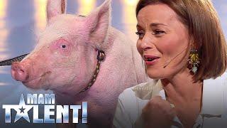 Nie uwierzysz, co zrobiła świnia na castingu do Mam Talent! Śmierdząca sprawa! :)