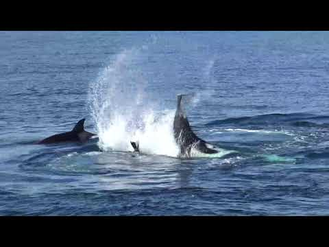 Long Beach Whale Watching Orcas hunting and feeding January 24, 2018