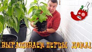 Как вырастить жгучий перец дома? Часть 19. Trinidad scorpion переезжает в большой горшок!