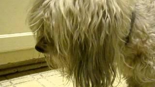 Charlie - funny dog eating cucumber-1.avi