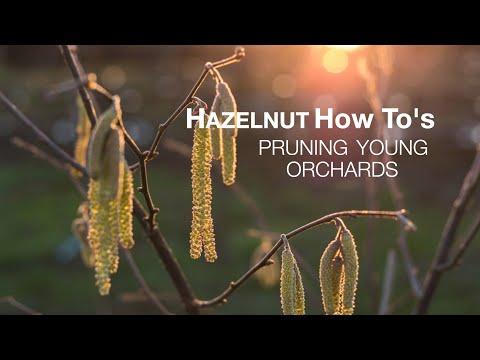 Pruning Young Jefferson Hazelnut Trees Youtube