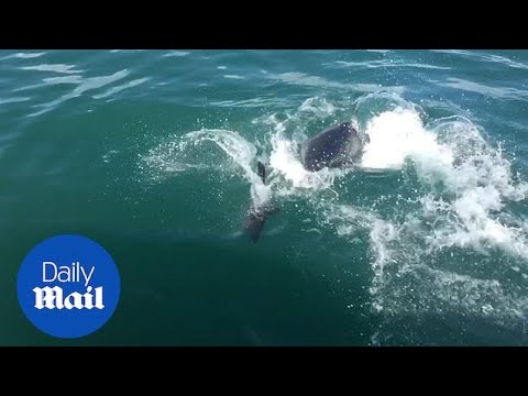 Tanner and Drew - Seal Comes Within Inches Of Getting Eaten By a Great White Shark