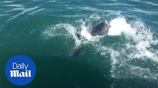 Seal narrowly escapes great white shark