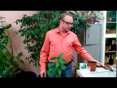 Лавр благородный (лат. Láurus nóbilis) , размножение и уход