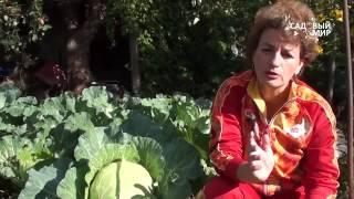 Почему растрескивается капуста. Кила капусты. Сайт