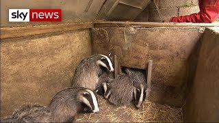 Campaigners call for end to badger cull