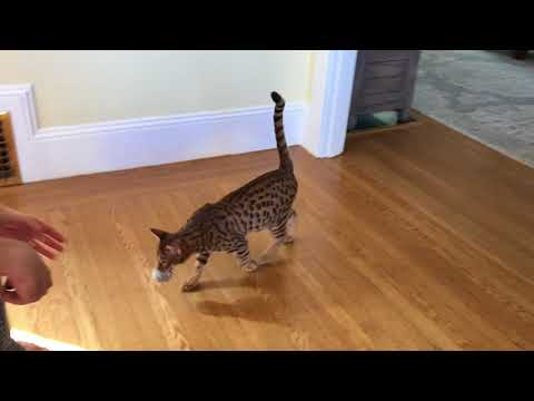 Olie cat playing fetch