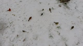 Birds On The Snow Eating Seeds Under Feeders - Cardinals, Doves, More