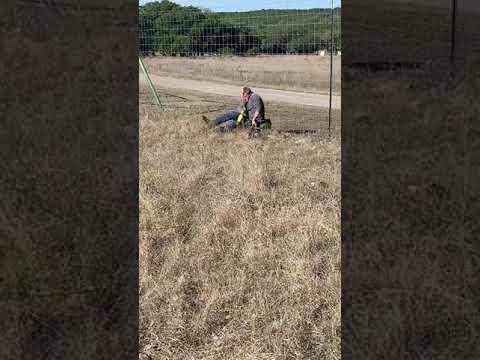 Fisher - Bucks Lock Horns- Man Cuts Them Apart