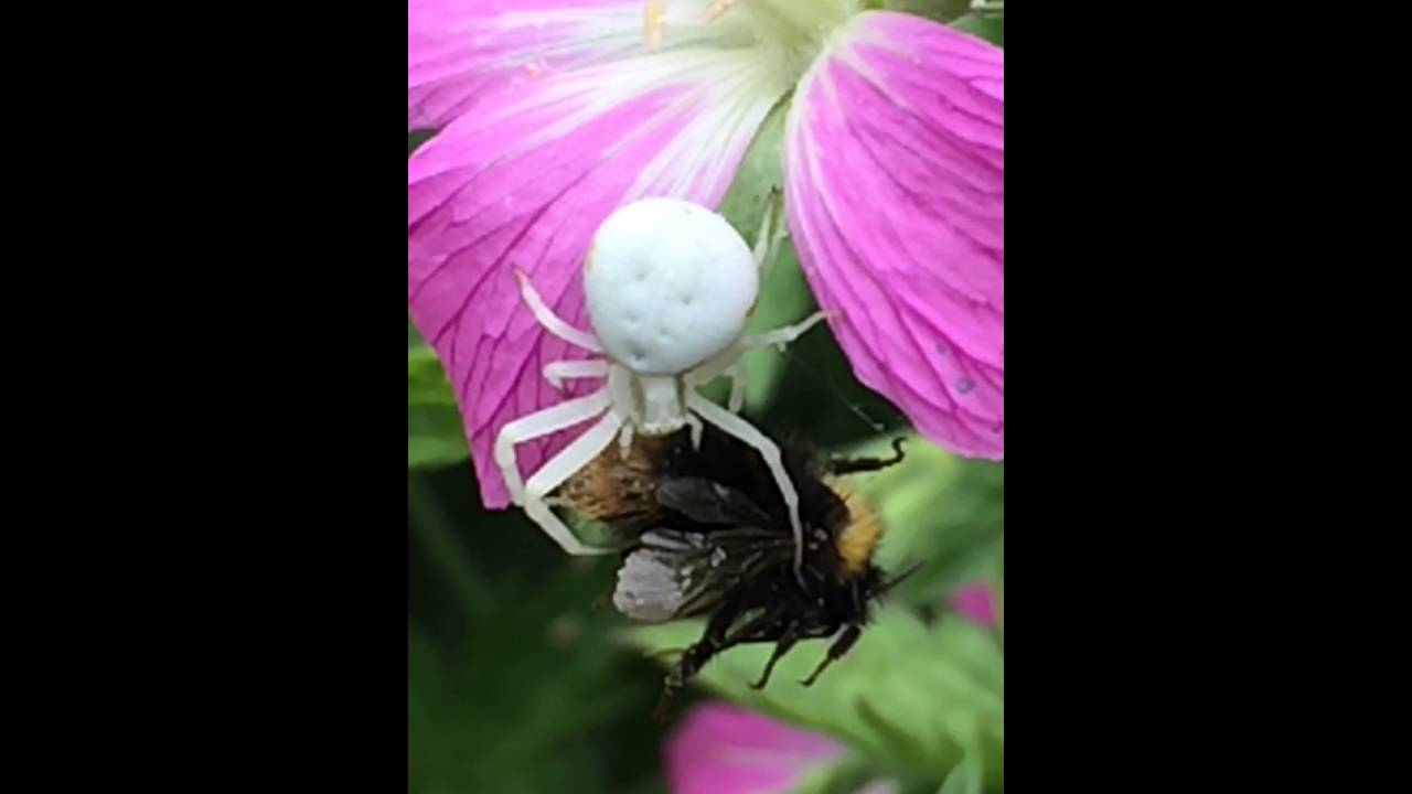 Crab spider preying bumble bee garden spiders spiders flower spiders - The Crab Spider And The Bumblebee