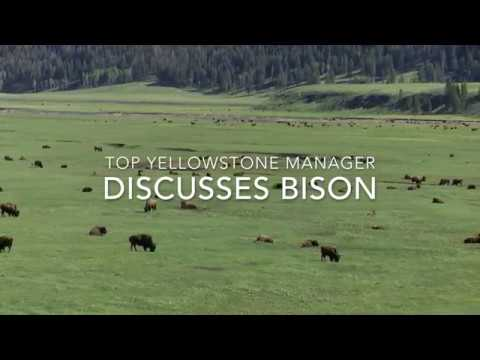 Why Yellowstone Bison Are Sacred