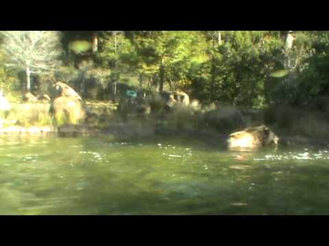 Grizzly Bear Feeding at San Francisco Zoo