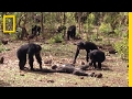 YouTube Turbo Aftermath of a Chimpanzee Murder Caught in Rare Video | National Geographic