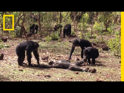 Thumbnail: Aftermath of a Chimpanzee Murder Caught in Rare Video | National Geographic