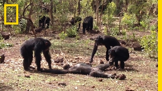 Aftermath of a Chimpanzee Murder Caught in Rare Video | National Geographic