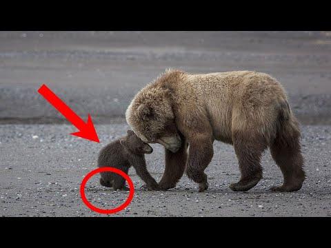 Медведица, РИСКУЯ ВСЕМ, вывела медвежонка к людям. Ему СРОЧНО нужна была помощь..