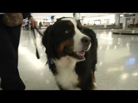 Airports have therapy dogs for holiday travel. Finally!