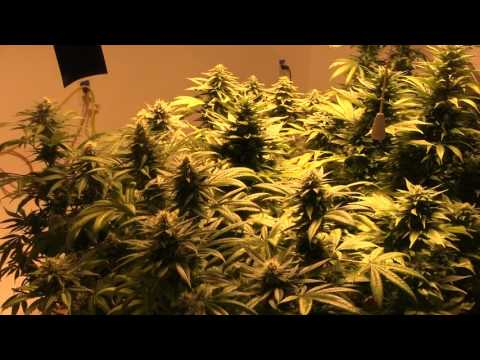 GROW UPDATE 2-3-17 Sweet Raw from GH added to Regimen!