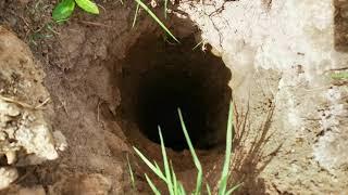 Наш друг борщевик три недели спустя - Птица Бекас попала в яму