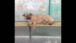 Собака автобус ждет