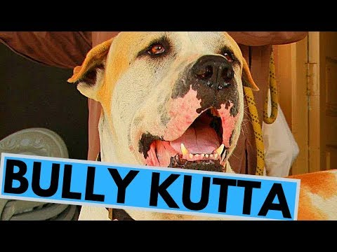 Bully Kutta Dog Breed - Facts And Information