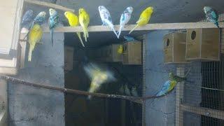 волнистые попугаи и канарейки в вольерах фильм второй