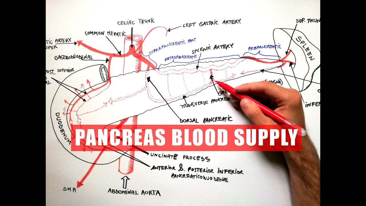 Pancreas Blood Supply Anatomy Tutorial Youtube