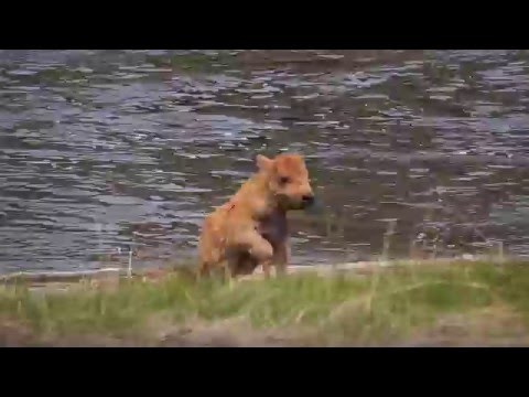 Baby Buffalo Struggles to Get Out of River | Yellowstone National Park