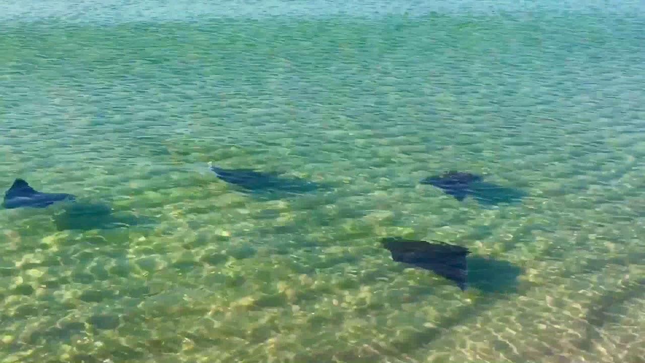 Manta Rays At Laguna Beach Florida Nov 2017