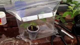 How to root a rose bush cutting thumbnail