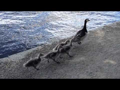 A family of social ducks in Stockholm, Sweden
