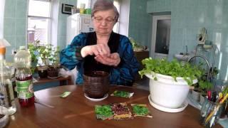 Салат РУККОЛА на ПОДОКОННИКЕ 2016(Добрый день в этом видео я вам расскажу как вырастить салат руккола на своем подоконнике . Другие мои видео..., 2016-03-23T14:48:16.000Z)