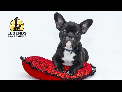 french bulldog crate training poker faced bulldog plays poker it s awesome doovi 8063