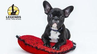 French Bulldog Puppy: Basic Training, Crate(Hit
