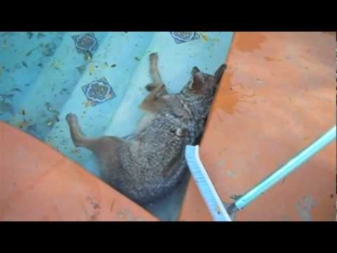 Thumbnail: Coyote fights for life in Swimming pool