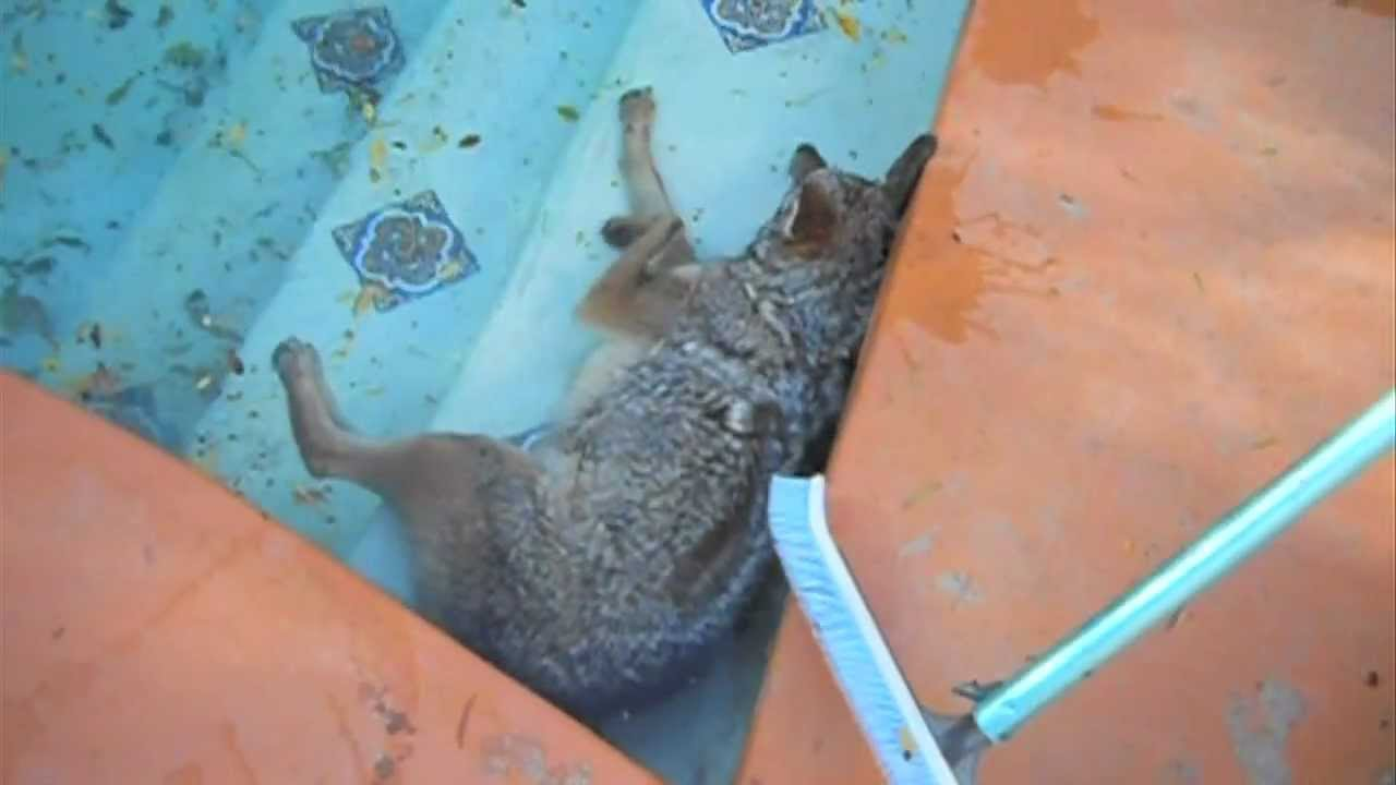 Coyote Fights For Life In Swimming Pool Youtube