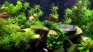 freshwater or tropical planted community fish tank no co2