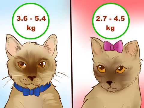 How to Identify a Burmese Cat