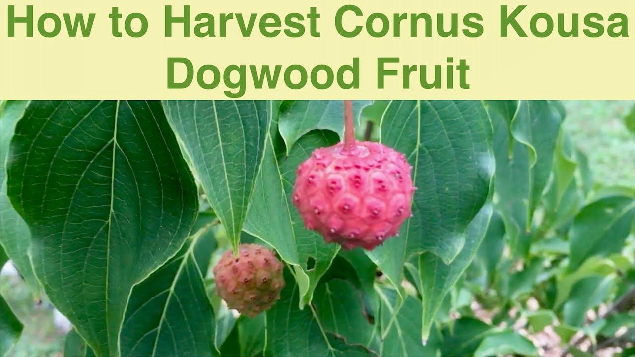 Harvesting Kousa Dogwood Fruit  YouTube
