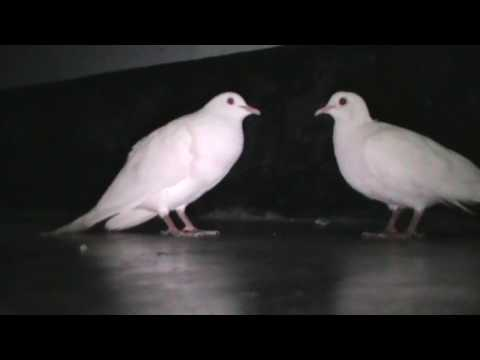 Beautiful White Doves Coo Call Sound || World Best Doves Cooing Sound