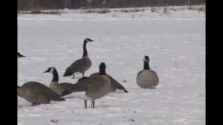 Pt. 12 Operation Migration calling mallard ducks hunting over decoys and using duck calls movie