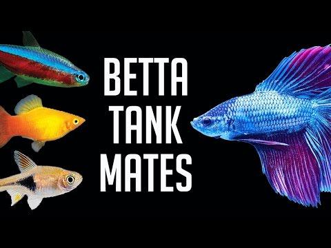Compatible Tank Mates for Betta Fish