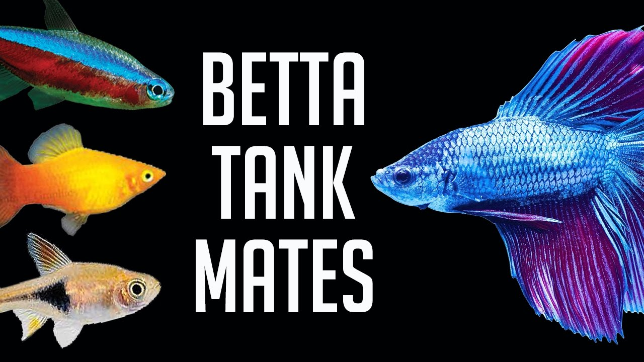 compatible tank mates for betta fish youtube